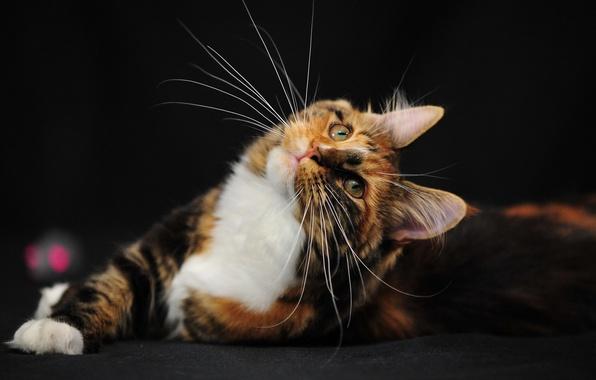 Picture cat, mustache, mood, bogatka