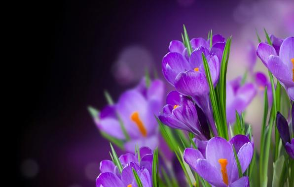 Picture flowers, petals, crocuses, flower, flowers, beautiful, petals, crocus