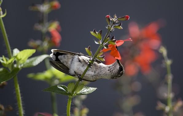 Picture flower, nectar, bird, Hummingbird