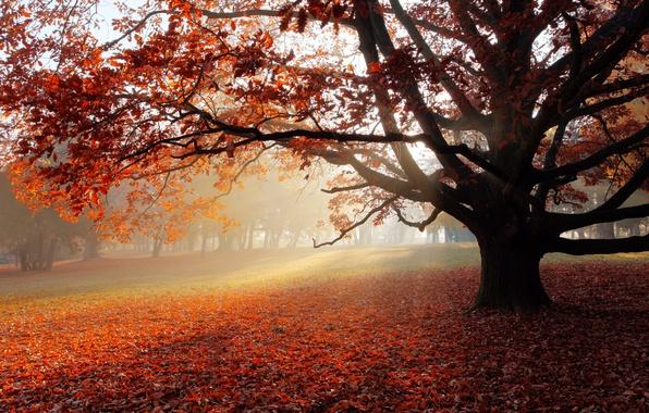 Picture autumn, landscape, nature, Park, lonely tree, landscape, nature, park, the sun's rays, autumn, sunbeams, lonely …