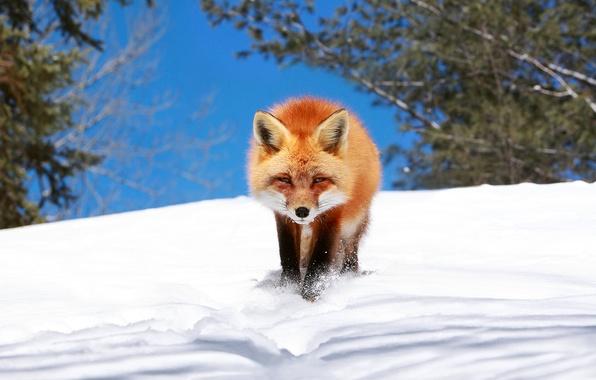 Picture winter, snow, Fox, Fox, crept