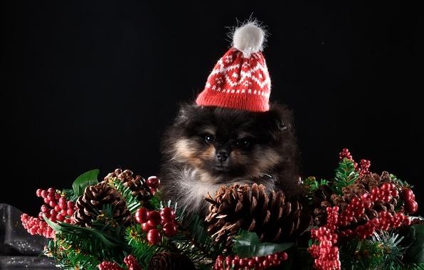 Picture new year, puppy, cap, decor, Spitz