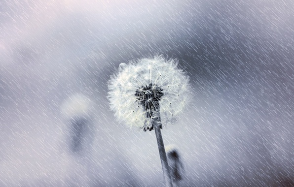 Picture flower, macro, nature, dandelion, fluff, black & white