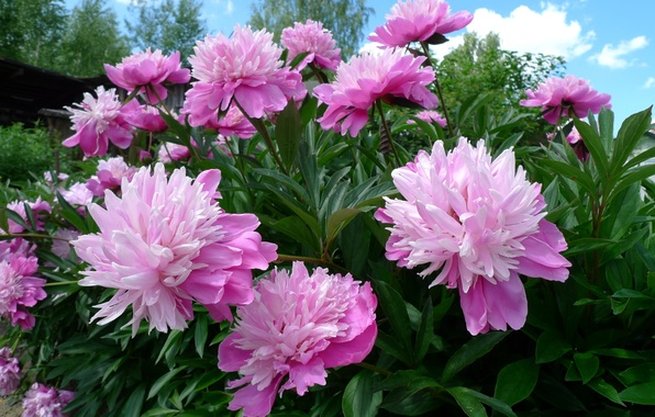 Picture pink, Bush, peony