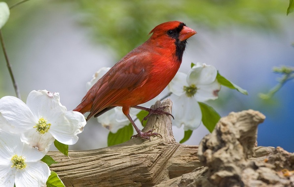 Picture flowers, bird, branch, spring, red, tail, cardinal