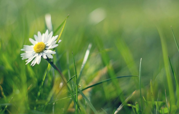 Picture greens, grass, Daisy
