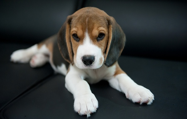 Wallpaper dog look each beagle images for desktop section photo wallpaper dog look each beagle voltagebd Images