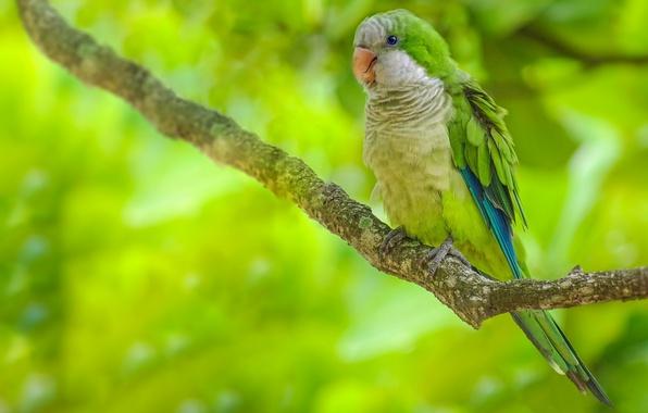 Picture bird, branch, parrot, Kalita