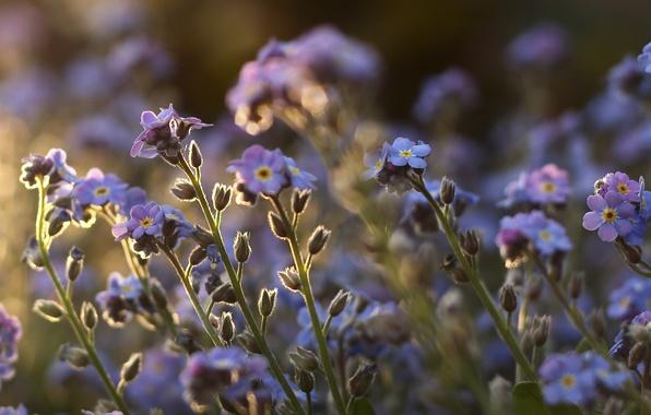 Picture field, macro, flowers, stems, plants, purple, forget-me-nots