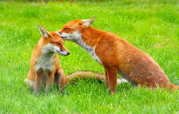 Picture grass, glade, Fox, pair, red, green