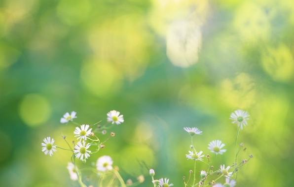 Picture greens, flowers, nature, chamomile