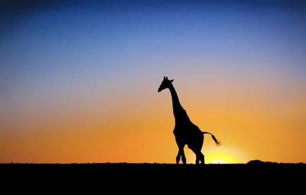 Picture sunset, The sun, giraffe