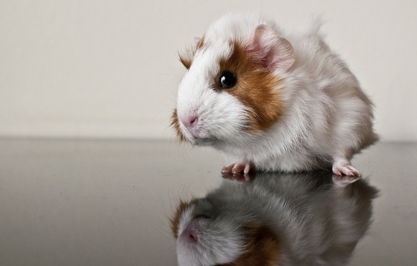 Picture reflection, Guinea pig, rodent