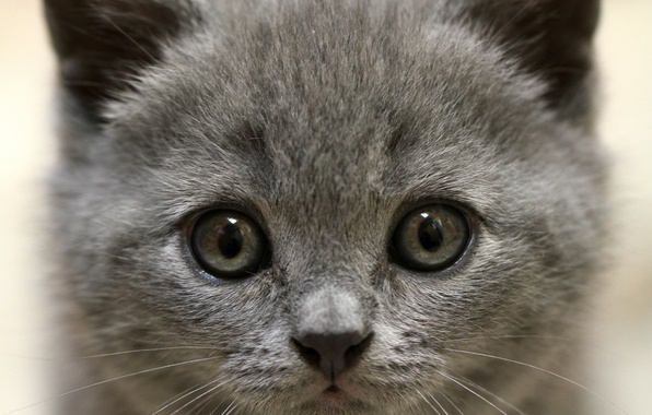 Picture eyes, look, kitty