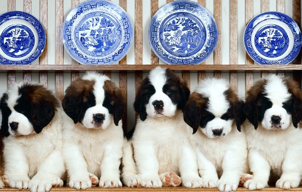 Picture puppies, A number, plates, St. Bernard, dishes, shelf