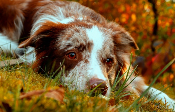 Picture autumn, look, face, dog, The border collie