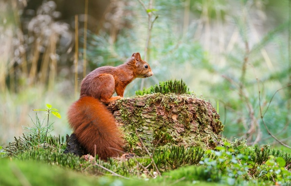 Picture forest, grass, nature, moss, protein, stump, grass, forest, squirrel, moss, Emi