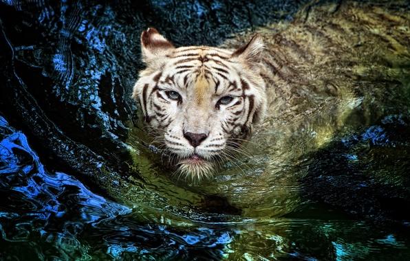 Picture white, tiger, tiger, big cat, floats, albino