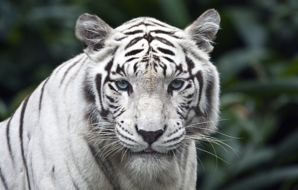 Picture white, look, tiger