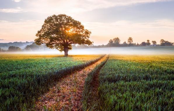 Picture field, landscape, nature, fog, sunrise, tree, England, morning