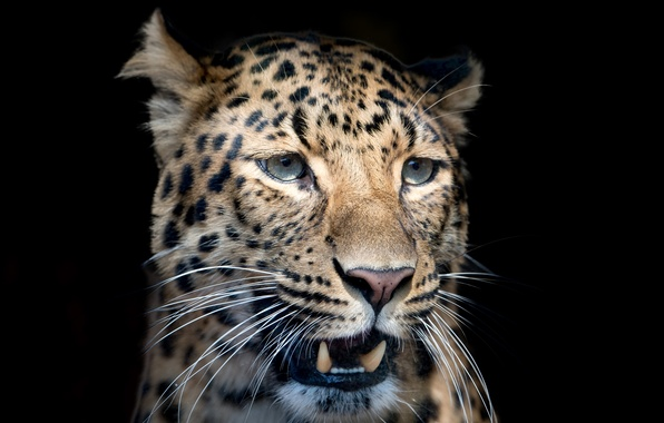 Picture mustache, face, close-up, predator, blur, leopard, fangs, black background, spotted
