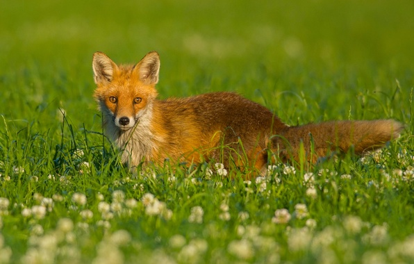 Picture grass, look, flowers, meadow, Fox, clover, red