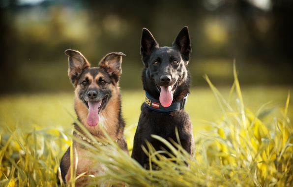 Picture dogs, grass, languages, Duo, shepherd