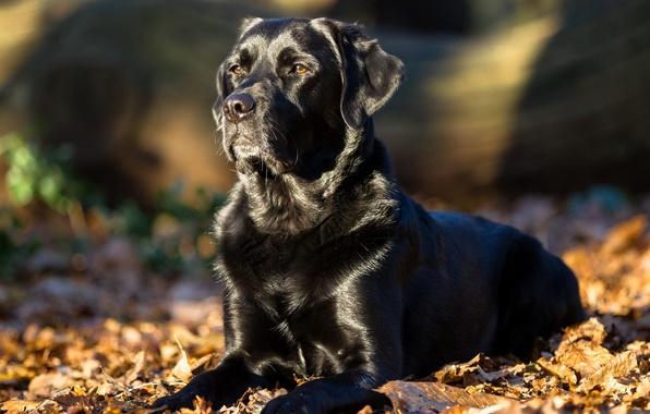 Picture leaves, dog, Labrador Retriever