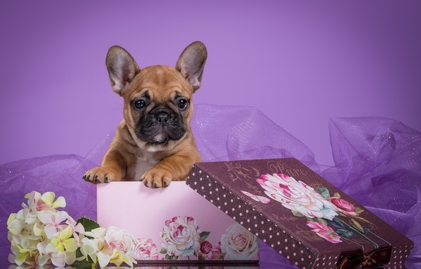 Picture flowers, box, puppy, veil, French bulldog