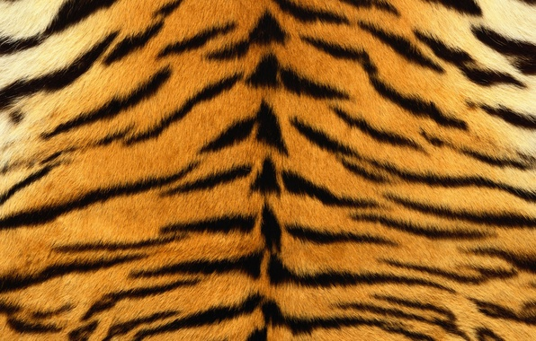 Picture strips, tiger, skin, fur, striped
