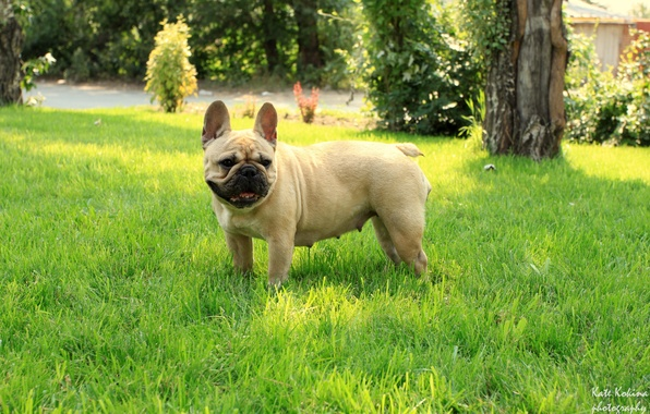Picture grass, girl, French bulldog, French Bulldog