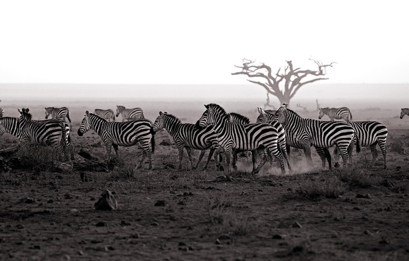Picture nature, background, Zebra