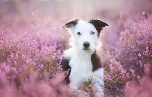 Picture summer, look, flowers, each, dog