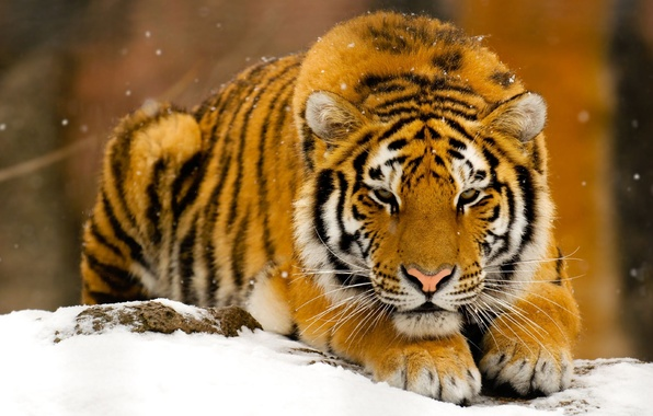 Picture winter, snow, tiger, predator, red, beast