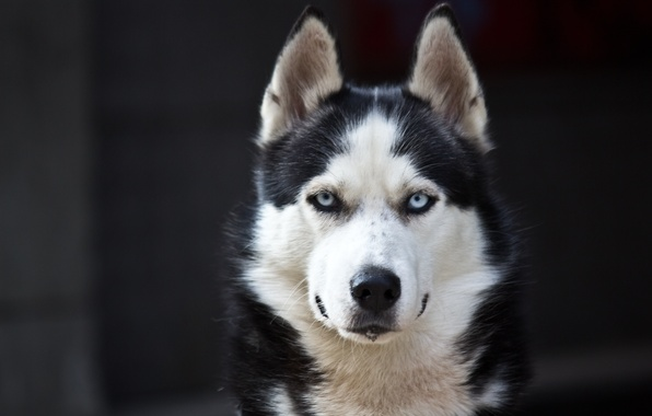 Picture white, Dog, black, danger, Husky, cute, Blue eyes
