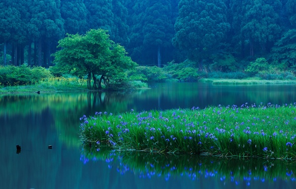 Picture forest, trees, flowers, lake, reflection, Japan, Japan, irises, Shiga Prefecture, Takashima