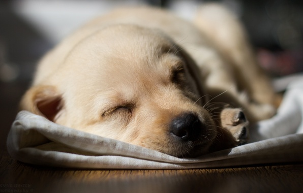 Picture dog, Labrador, pup.sleeping