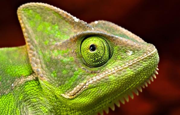 Picture macro, eyes, chameleon, head