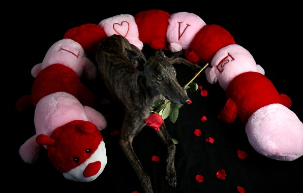 Picture look, each, holiday, rose, dog