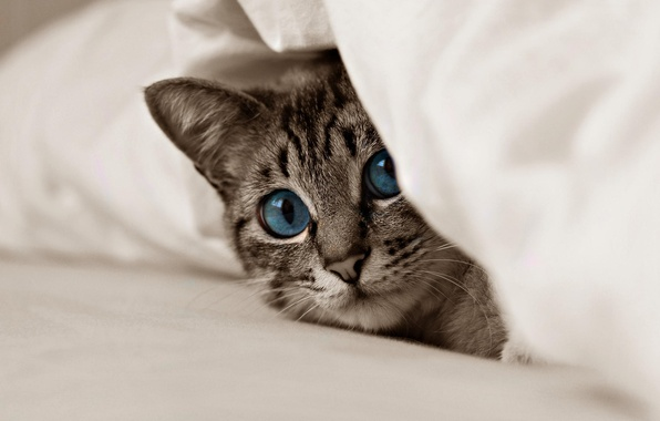 Picture animals, cat, look, kitty, blue eyes