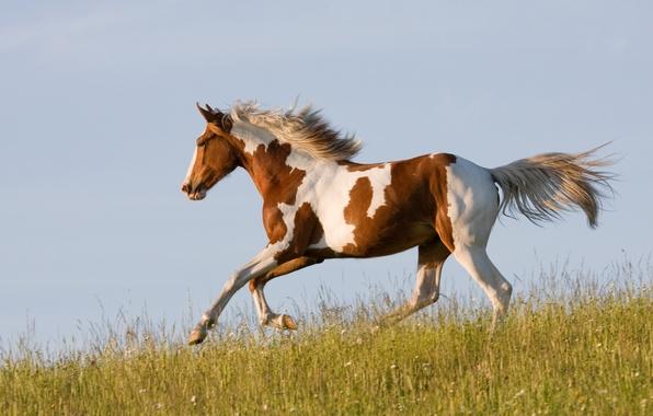 Picture grass, horse, horse, running, runs