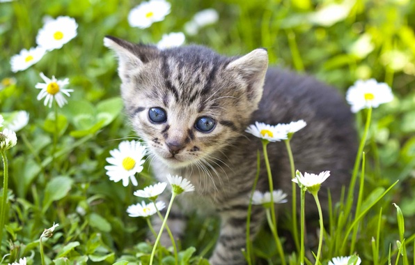 Picture look, flowers, chamomile, baby, muzzle, kitty