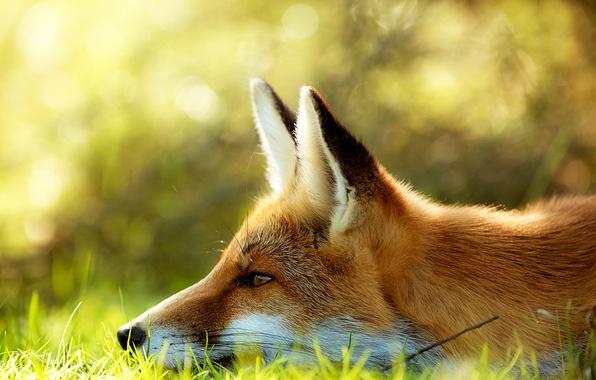 Picture grass, face, Fox, Fox