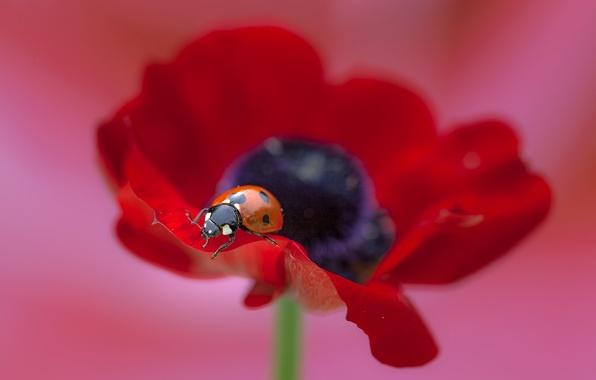Picture flower, macro, Mac, ladybug, flower, macro, poppy, ladybug