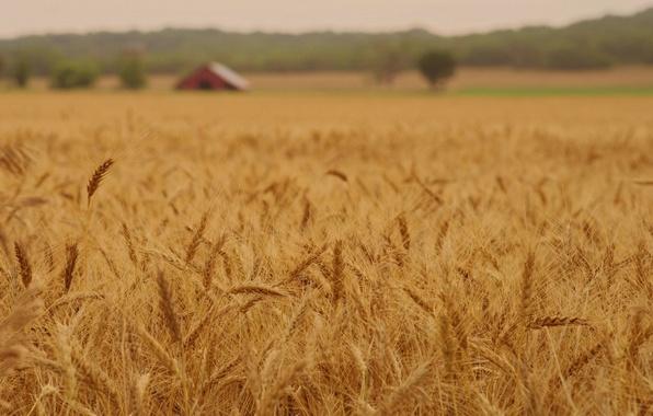 Picture wheat, field, macro, nature, background, widescreen, Wallpaper, rye, spikelets, wallpaper, ears, field, widescreen, background, macro, …