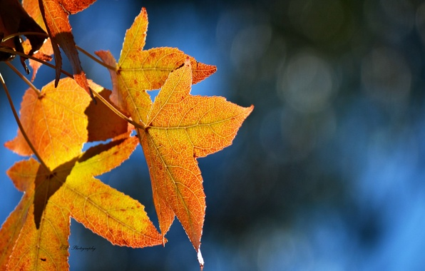 Picture leaves, blue, glare, background, yellow, maple, autumn