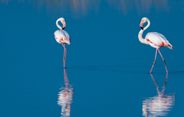 Picture water, birds, reflection, two, Flamingo, blue