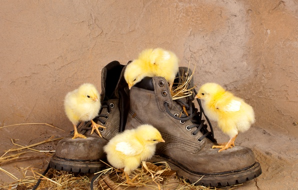 Picture chickens, shoes, straw, Chicks, curiosity