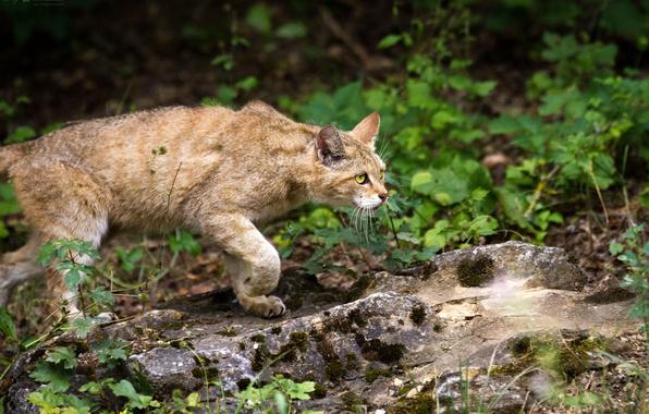 Picture cat, grass, look, stone, wild, wildcat