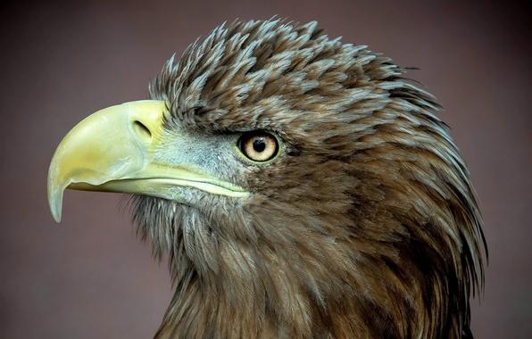 Picture bird, predator, profile, white-billed eagle